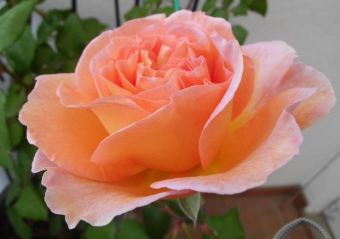 Balkon-Rose