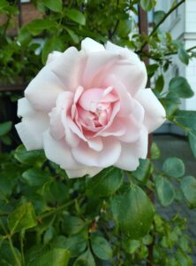 A sweet light pink rose to make the progress report look better...